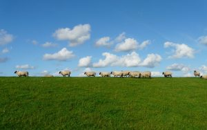 sheep-235873